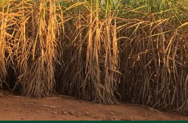 Como fazer uma correta avaliação de variedades de cana e das estratégias de colheita